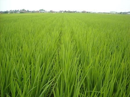 直播もち米の田んぼ   たけもと農場