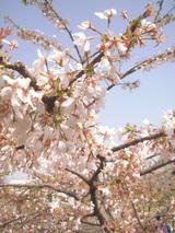 玉縄桜だそうで