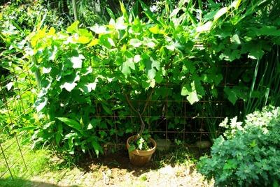 鉢植えブドウ