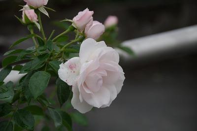 バラs-IMGP9612