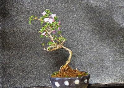 盆栽IMGP4329