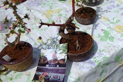 盆栽スモモMGP4278