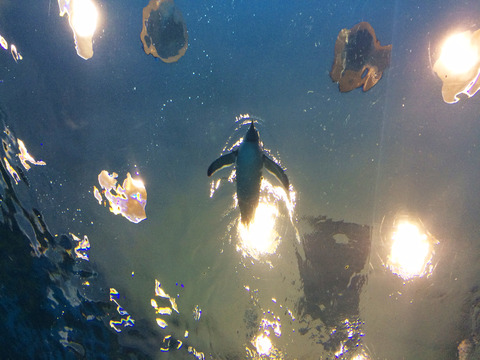 ペンギン水槽01