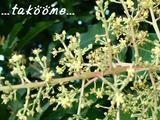マンゴの花