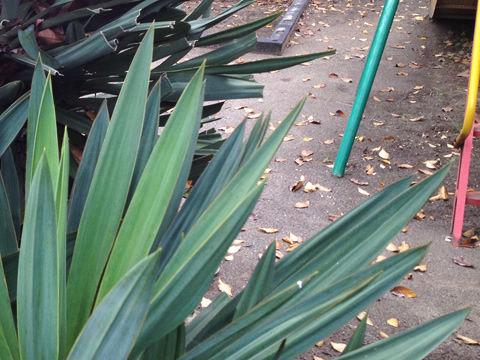 針のような葉先の植物