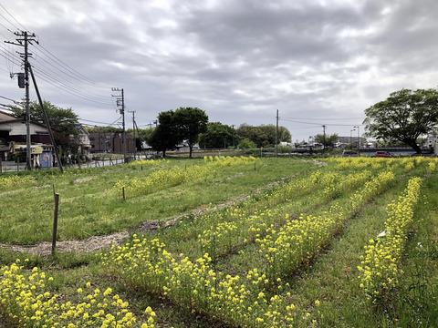 菜の花プロジェクト