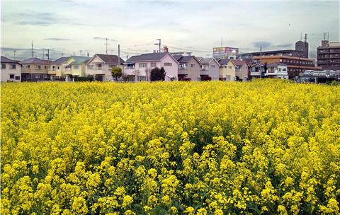 小平菜の花畑