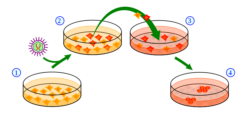 人工多能性幹細胞