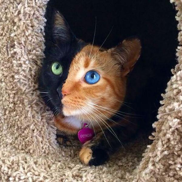 左右の目の色と毛の色が全く違う 三毛猫