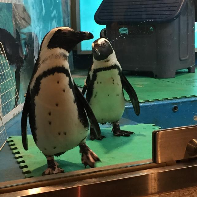 ペンギン 胸に七つの星