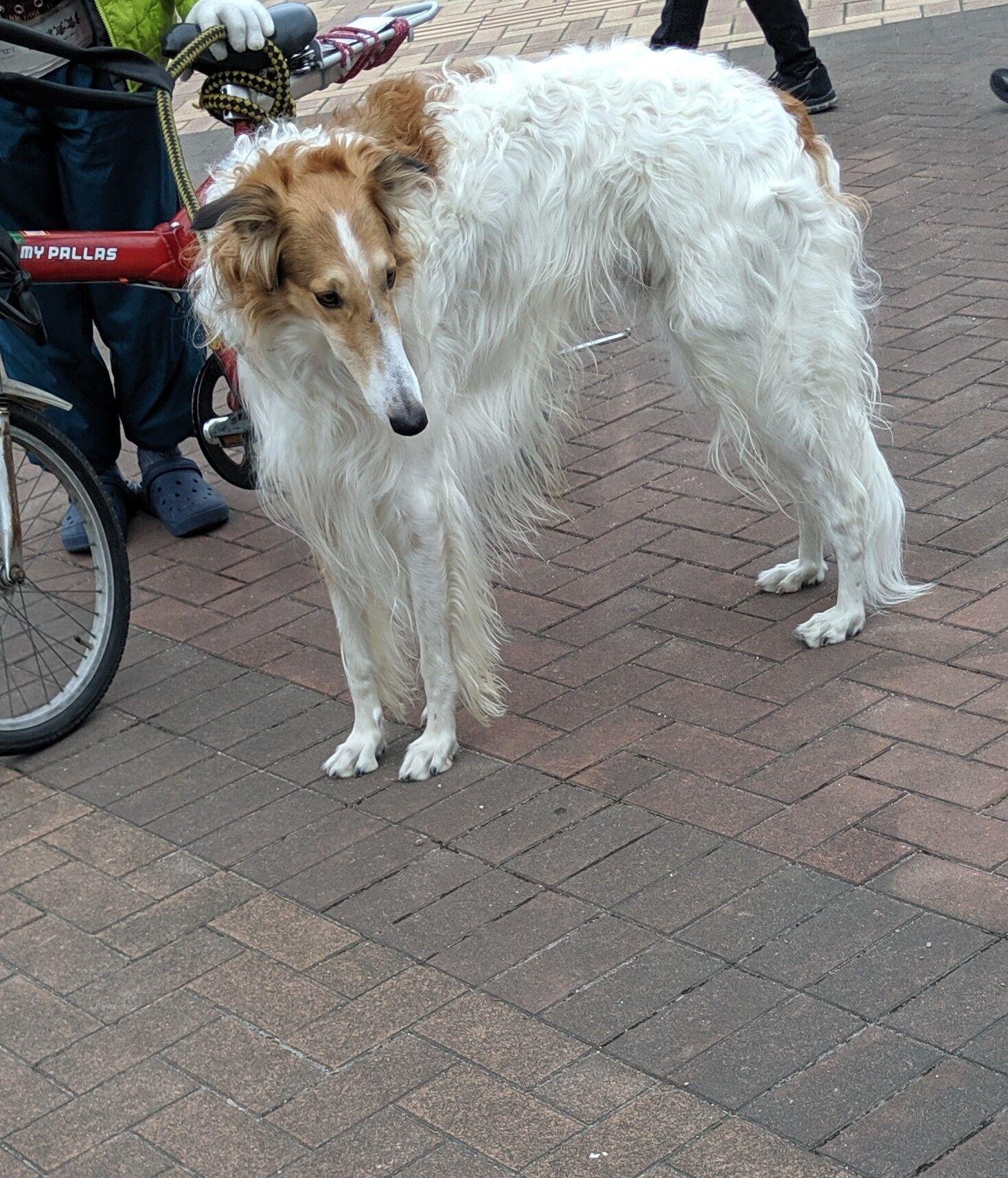 子犬 ボルゾイ