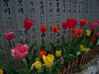横峰寺境内に咲くチューリップ