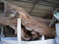 生木地蔵の霊木