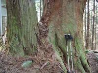 石鎚今宮道 杉の巨木3