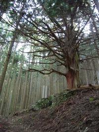 石鎚今宮道 杉の巨木1