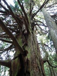 石鎚今宮道 杉の巨木2