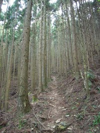 石鎚今宮道 杉木立の中の急坂道