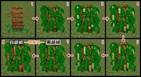 胡椒 成長 - コピー