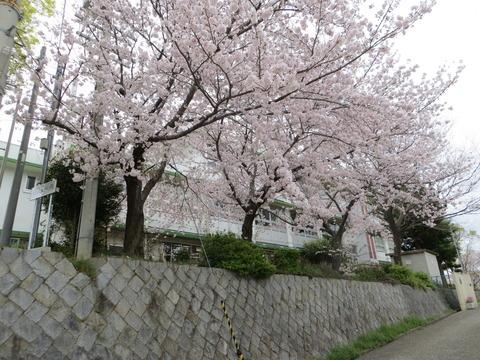 2016/4/3 和泉市・南松尾の桜