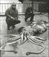 Colossal squid(4) 1970