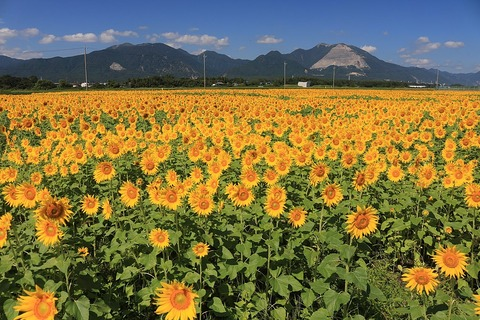 1024px-Mount_Ryu_and_Mount_Fujiwara_with_Sunflower_field