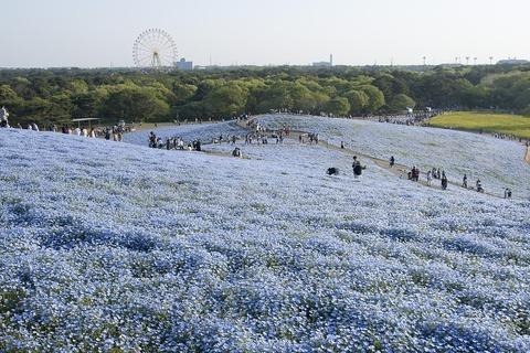 1280px-Miharashino_Oka_(Hitachi_Seaside_Park)_17