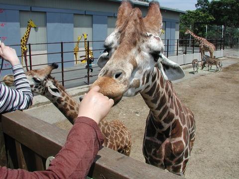 NankiShirahamaAdventureWorld_giraffe