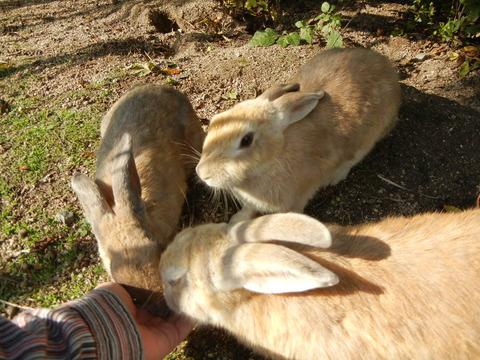 Okunojima-rabbit