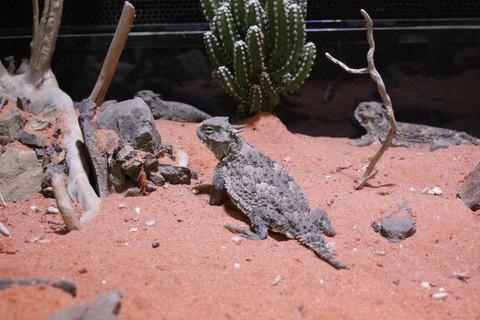 1024px-IZoo_サバクツノトカゲ_Desert_horned_lizard