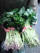 さつま芋の苗