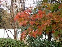 2乾通りの紅葉 (1)