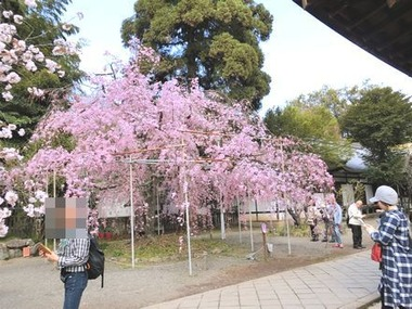 hiranosakura5
