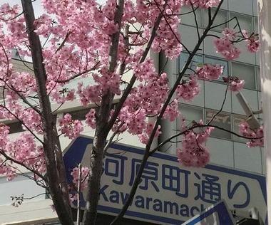 kawaramachisakura4