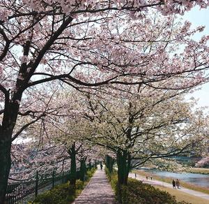 210327桜3