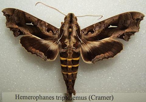 640px-Hemerophanes_triptolemus_sjh