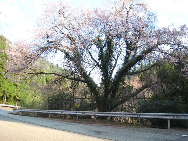 丹波の桜並木道を守れるか
