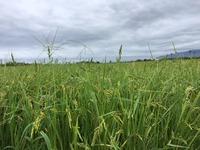 稲より高い稗
