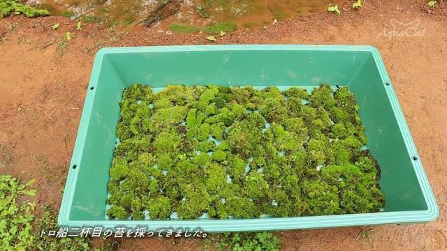 【悲報】アクアリウムYouTuber、どこからか苔を大量に採ってきてしまう