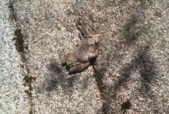 【画像ありまーす】山ガールだけど登山中に見つけた忍者みたいなカエル