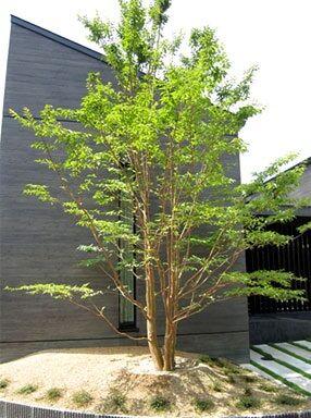 ハイノキ樹形