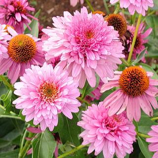 八重咲きエキナセア
