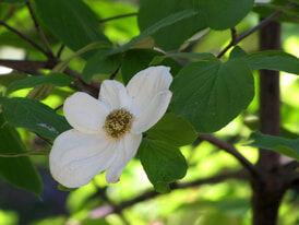 ハナミズキ花(白)