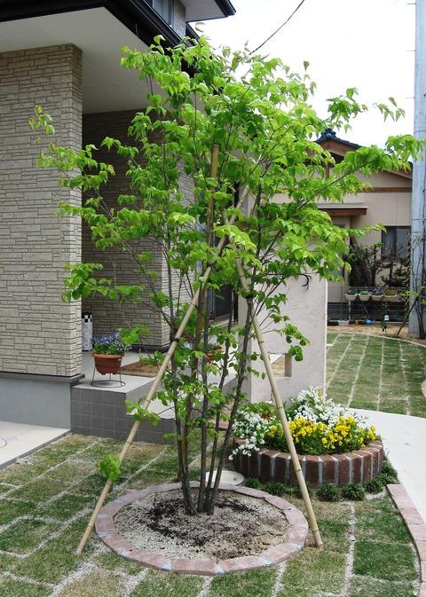 ヤマボウシ樹形