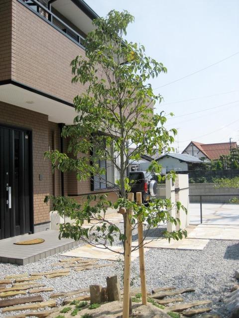 ハナミズキ樹形