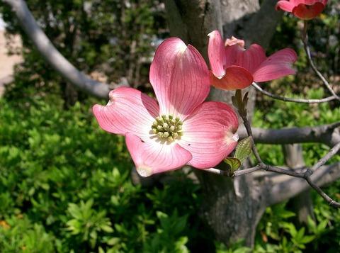 ハナミズキ花(ピンク)