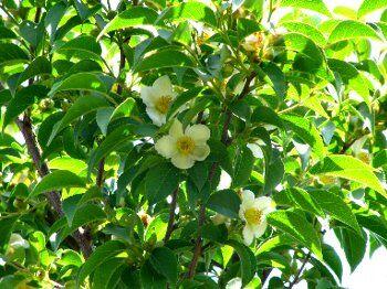 ヒメシャラ(花)
