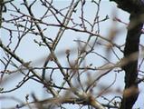 若宮大路の桜02