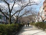 鎌倉若宮大路の桜
