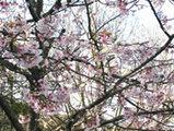 鎌倉八幡宮の桜02