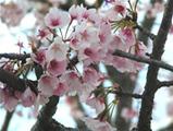 鎌倉八幡宮の桜01